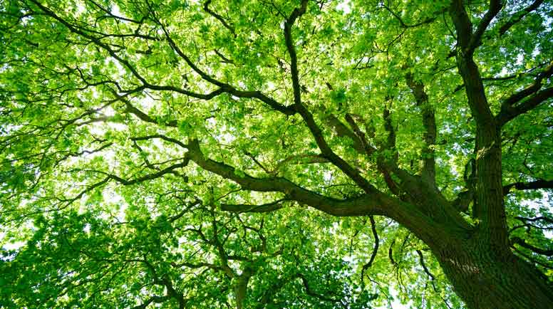 Mighty-Oak-Tree-from-below-000056382958_Large.jpg
