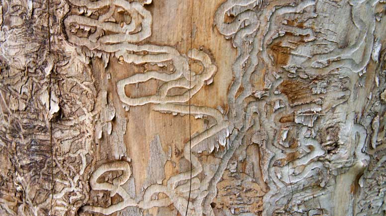 Emerald-Ash-Borer-Traces-on-a-Dead-Tree-Trunk-000012923961_Large.jpg