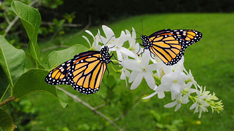 Two-Monarch-butterflies-000026772906_Large.jpg