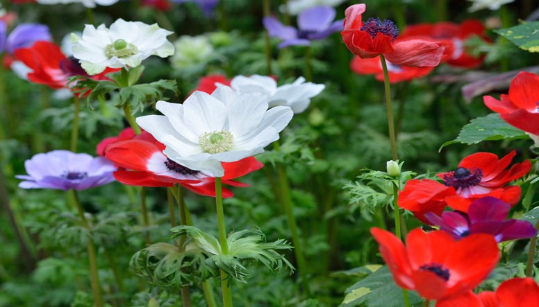 Poppies-000085824637_LargeLS.jpg
