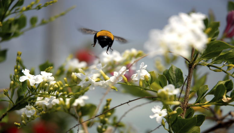 bumblebee-resized.jpg
