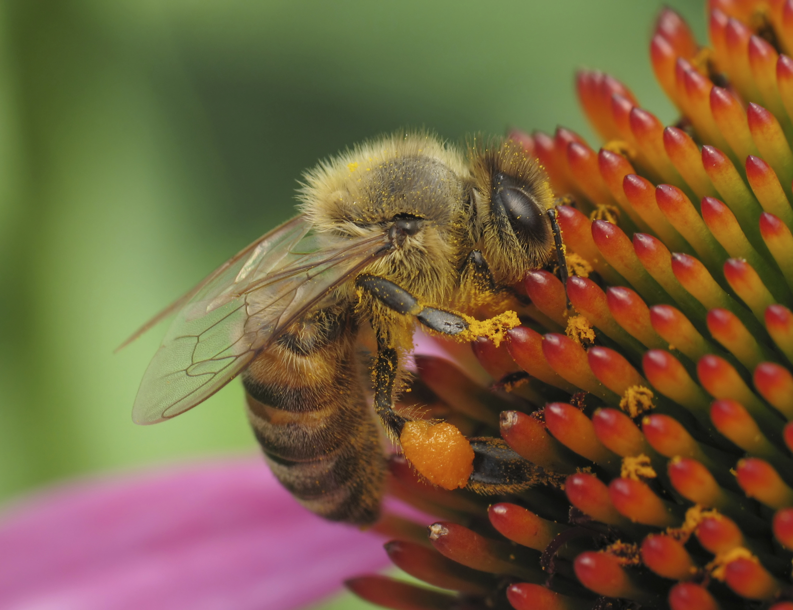 bee-on-coneflower-000006770712_Medium.jpg