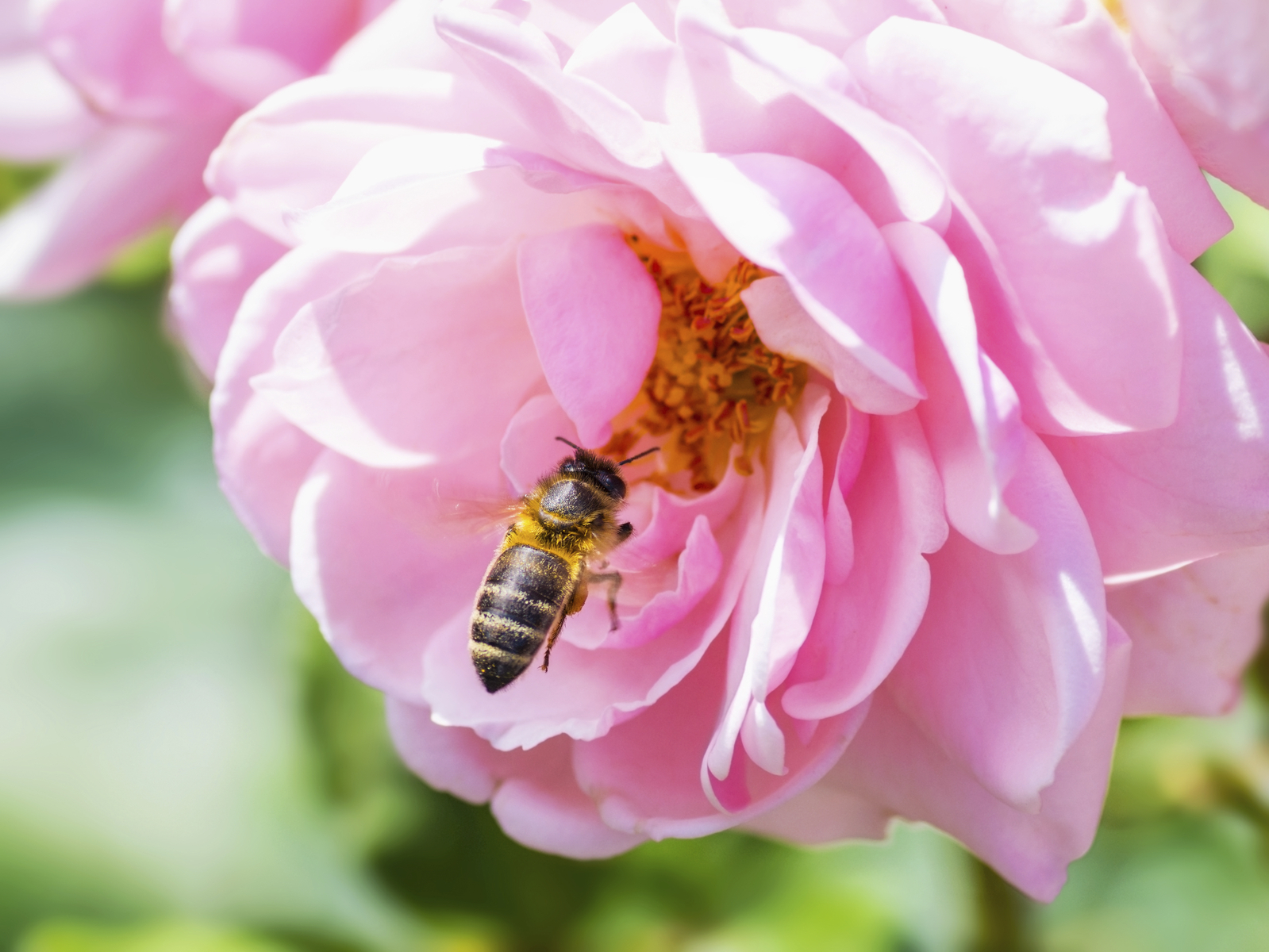 Honeybee-Pollinating-Pink-Rose-000089689433_Medium.jpg